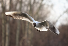Close-Up Of Black-Headed Gull Flying