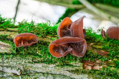 Photo Auricularia 3