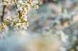 Spring card blooming cherry branch on a sunny bright day with blue sky with place for text