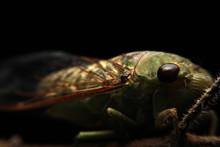 A Close-up Of A Cicada (Tibice...