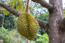 Durian Fruit Fresh On Tree At ...