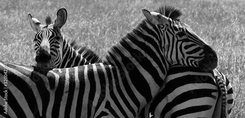 Fototapety, obrazy: Zebras Standing On Grassy Field