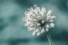 Wild Leek White Flower On Blue...