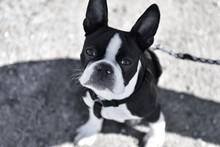 BOSTON TERRIER DOG LOOKING AT CAMERA