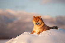 Red Shiba Inu Dog Outside At S...