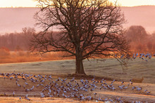 Cranes And A Oak Tree In Morning Light