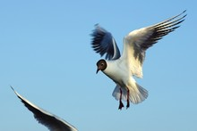 Low Angle View Of Black-Headed Gull Flying Against Clear Sky