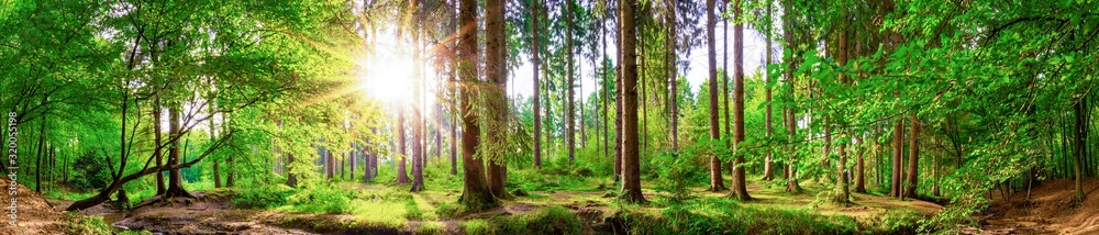 Fototapeta Beautiful forest panorama with large trees and bright sun