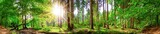Fototapeta Las - Beautiful forest panorama with large trees and bright sun
