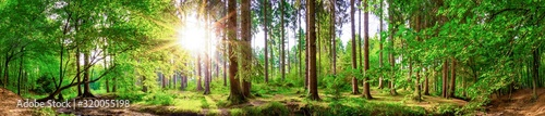 Fototapeta Beautiful forest panorama with large trees and bright sun obraz