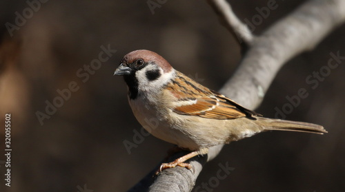 Cuadros en Lienzo Tree sparrow on branch, passer montanus