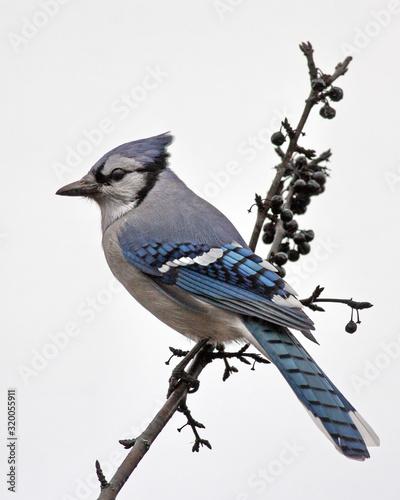 Obraz na plátně blue jay perching on branch against clear sky