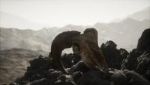 European Mouflon Ram Skull In ...