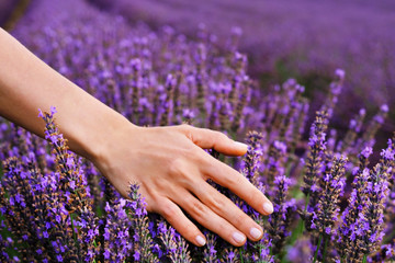 FototapetaWoman's hand touching lavender. Flowers in the lavender fields in the Provence mountains.