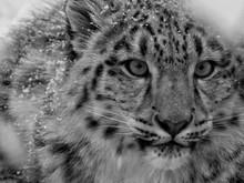 Close-Up Portrait Of Snow Leop...