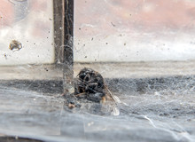 The  Bumblebee Caught In A Spider Web On The Window