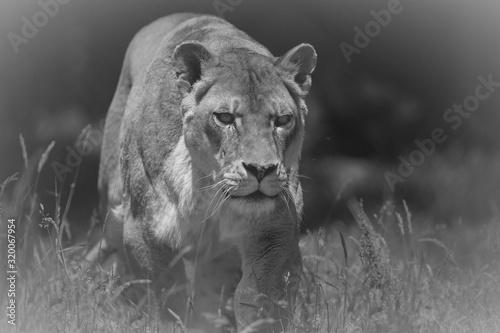 Fototapeta Lioness On Field obraz na płótnie