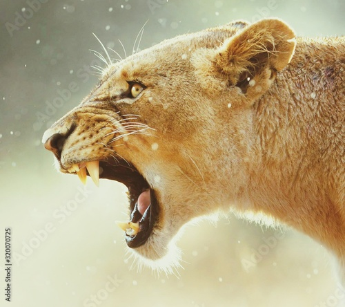 Fototapety, obrazy: Close-Up Of Roaring Lioness