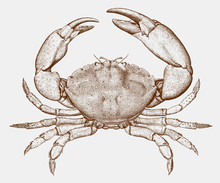 Male Florida Stone Crab, Menippe Mercenaria From The Western North Atlantic Ocean In Top View