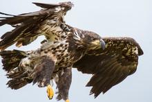 Immature Bald Eagle At McNeil River In Alaska