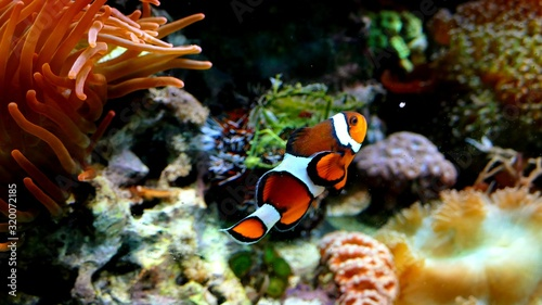 Fotografia, Obraz Close-Up Of Clownfish Swimming In Sea