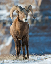 Bighorn Sheep In The Badlands ...