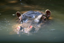 Hippo SWIMMING IN WATER