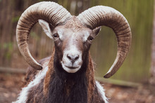 Portrait Of A Mouflon, Ovis Or...