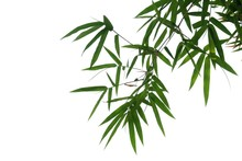 Bamboo Leaves With Branches On...
