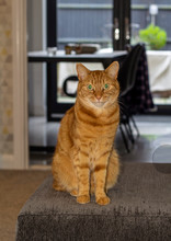 Ginger Tom Cat With Vivid Green Eyes Sitting On A Comfortable Couch