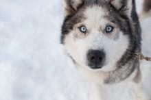 Close-up Portrait Of Siberian Husky