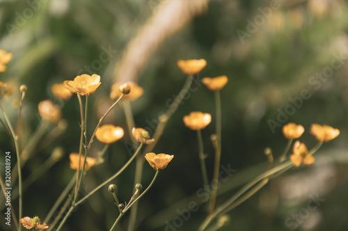 Yellow flowers of buttercups on meadow, Ranunculus acris Wallpaper Mural
