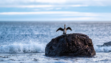 Cormorant Drying His Wings On ...