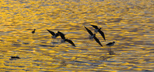 Black-Necked Stilts Flying Abo...