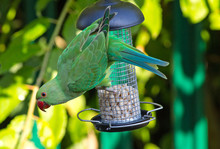 Green Ring Necked Parakeets Hanging On A Bird Feeder With Head Angled Outwards Against A Natural Blurred Green Garden Background