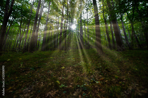 Fototapeta sun casting beautiful rays of light through the branches in the green spring forest. obraz na płótnie
