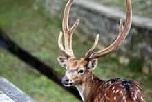 Fallow Deer In Park