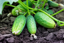 Green Ripe Cucumbers On The Bed. Growing Cucumbers_