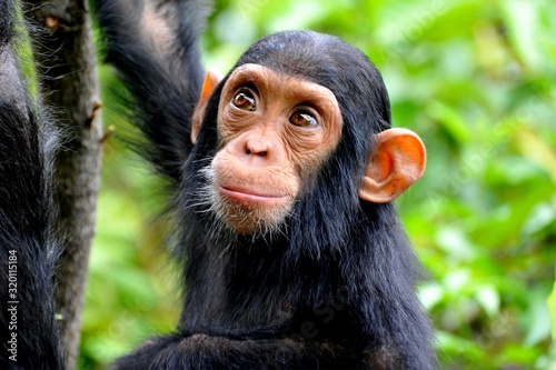 High Angle View Of Chimpanzee In Forest - fototapety na wymiar