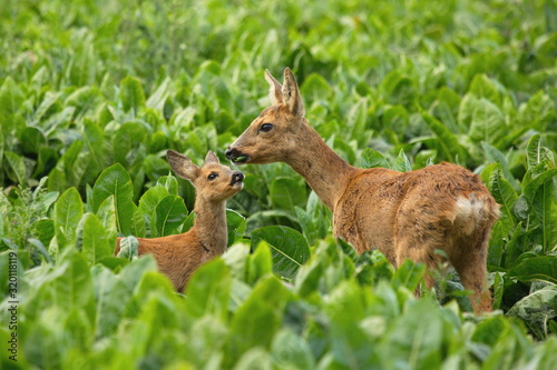 Fotografie, Obraz Roe Deer And Fawn Amidst Plants On Field