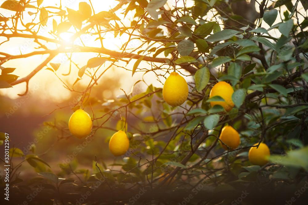 Obraz Lemons. Ripe Lemons hanging on tree. Growing Lemon fototapeta, plakat