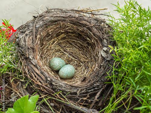 blackbird (Tardus merula), blackbird nest with eggs in a flowers box with gerani Wallpaper Mural