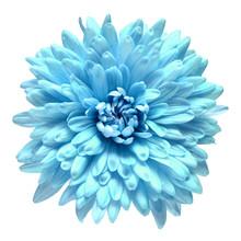 Blue Chrysanthemum Flower Isol...