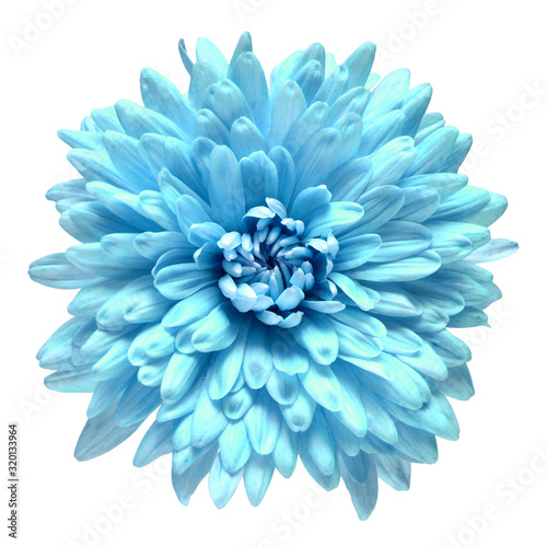 Blue chrysanthemum flower isolated on white background. Floral pattern, object. Flat lay, top view