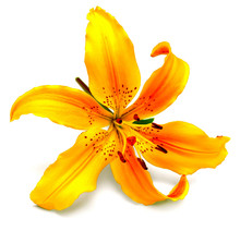 Yellow Lily Flower Isolated On...