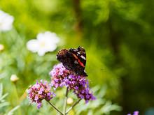 (Vanessa Atalanta) Papillon Le Vulcain Ou L'amiral Posé Sur Une Fleur Ailes Repliées