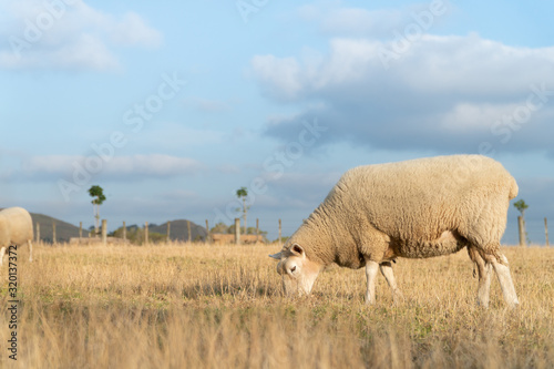 Fényképezés Sheep Grazing in Dry Grass Paddock in Summers Afternoon in Auckland New Zealand