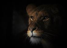 Close-Up Of Lioness At Night