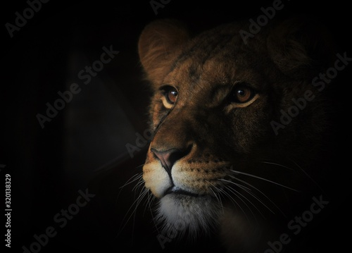 Fotografie, Obraz Close-Up Of Lioness At Night