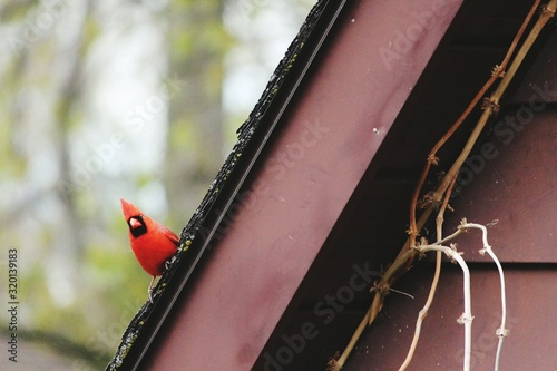 Slika na platnu Cardinal Perching On Roof